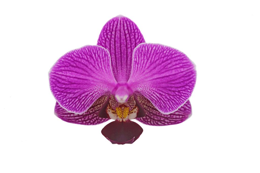 Perceval-bloem-closeup-web