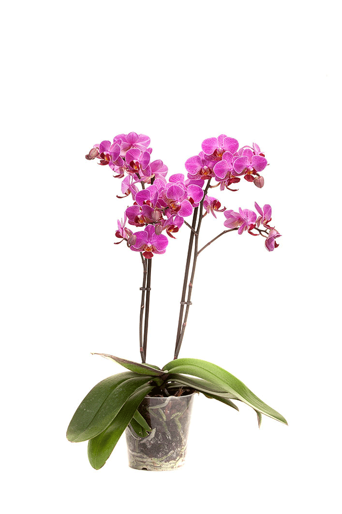 Perceval-plant-web